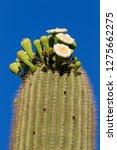 detail of blooming  saguaro ... | Shutterstock . vector #1275662275