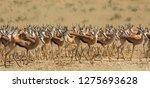 Small photo of A herd of Springbok (Antidorcas marsupialis) in the Kalahari desert, South Africa