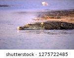 Nile Crocodile  Crocodylus...