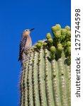 Gila Woodpecker  Melanerpes...