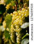 vaduz grape vineyard   Shutterstock . vector #1276059535