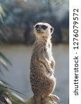 suricata watching  funny meerkat   Shutterstock . vector #1276079572
