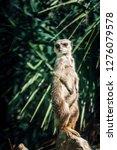 suricata watching  funny meerkat   Shutterstock . vector #1276079578