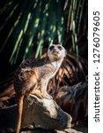 suricata watching  funny meerkat   Shutterstock . vector #1276079605