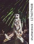 suricata watching  funny meerkat   Shutterstock . vector #1276079608