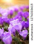 early spring crocus  crocus... | Shutterstock . vector #1276333615