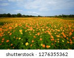 the yellow and orange cosmos... | Shutterstock . vector #1276355362