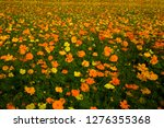 the yellow and orange cosmos... | Shutterstock . vector #1276355368