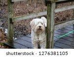 tibetan terrier in the woods  | Shutterstock . vector #1276381105
