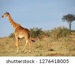 african giraffe in savannah | Shutterstock . vector #1276418005