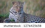 Leopard Eyes Staring