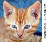 Magnificent Ginger Cat
