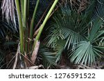 oil palm fields | Shutterstock . vector #1276591522