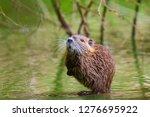 Closeup of a muskrat Ondatra zibethicus or nutria Myocastor coypus rodent in wetlands water foraging