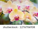 orchid flower in orchid garden... | Shutterstock . vector #1276706938