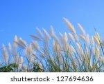 Pampas Grass Or Cortaderia...