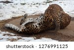 mother and cub amur leopard is... | Shutterstock . vector #1276991125