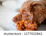 Stock photo nova scotia duck tolling retriever fluffy puppy 1277022862