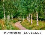 Birch Grove With A Path Leadin...