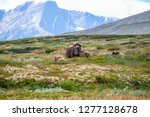 the muskox  ovibos moschatus  ... | Shutterstock . vector #1277128678