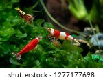 three types of red dwarf shrimp ... | Shutterstock . vector #1277177698