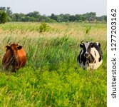 cows in the pasture. two cows.... | Shutterstock . vector #1277203162