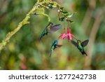 blue hummingbird violet... | Shutterstock . vector #1277242738