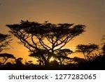 Silhouette Of Acacia Tree...