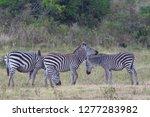 three plains zebras  equus...   Shutterstock . vector #1277283982
