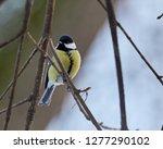 parus major  a small european...   Shutterstock . vector #1277290102