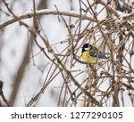 parus major  a small european...   Shutterstock . vector #1277290105