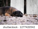 a lonely mix breed cute dog... | Shutterstock . vector #1277420542