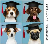 cute pug puppies in graduation... | Shutterstock . vector #1277441155