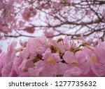pink flowers   sakura flowers   ...   Shutterstock . vector #1277735632