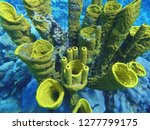 aplysina fisturalis  coral ... | Shutterstock . vector #1277799175