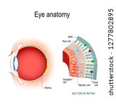 eye anatomy. rod cells and cone ... | Shutterstock .eps vector #1277802895