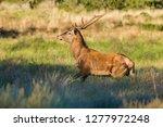 male red deer in la pampa ... | Shutterstock . vector #1277972248