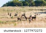 red deer in la pampa  argentina ... | Shutterstock . vector #1277972272