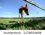 little young foal alone on the... | Shutterstock . vector #1278014608