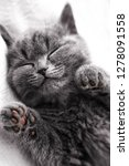 Stock photo cute grey kitten sleep grey scottish kitten sleeping on white background 1278091558