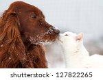 Stock photo red irish setter dog and white cat in snow 127822265
