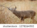 a white tailed deer buck... | Shutterstock . vector #1278264502