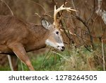 a white tailed deer buck... | Shutterstock . vector #1278264505