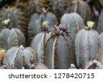 cactus plants or astrophytum...   Shutterstock . vector #1278420715