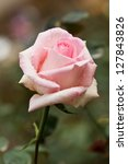 Stock photo beautiful pink rose in a garden 127843826