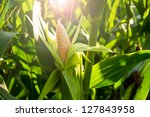 Corn Cob In A Field And In The...