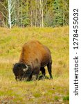 wood bison in northern b.c. the ... | Shutterstock . vector #1278455032