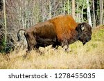 wood bison in northern b.c. the ... | Shutterstock . vector #1278455035