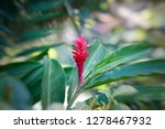 a beautiful tropical red ginger ... | Shutterstock . vector #1278467932