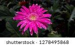 beautiful gerbera is blooming... | Shutterstock . vector #1278495868